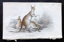 Jardine C1835 Hand Col Print. Red Necked Wallaby - Australia Native 29